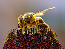 220px-Bees_Collecting_Pollen_2004-08-14